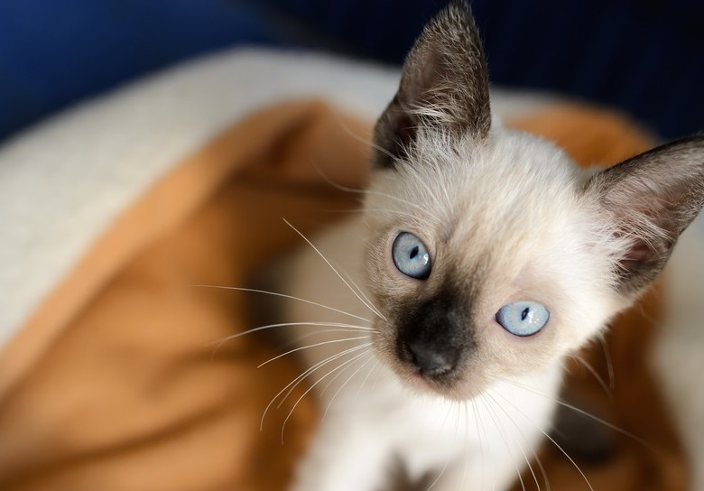 Kitten Cat is an adorable Siamese kitty looking up at you those deep blue eyes.